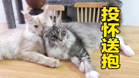 这只缅因猫也太胖了吧!减肥成功后,马上定了一门娃娃亲!