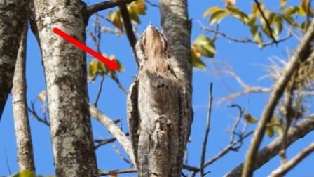 123,木头人?为躲避敌人,这种鸟会伪装成木桩,一装一辈子!
