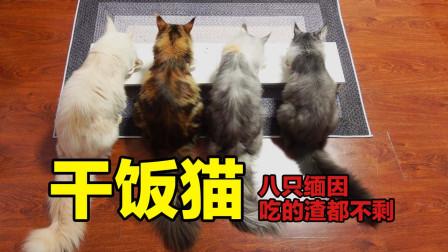 最强干饭猫!八只缅因猫吃罐头渣都不剩,这是要把主人吃穷了?