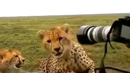 公然拿着摄影机挑衅猎豹,这胆子不是一般的大