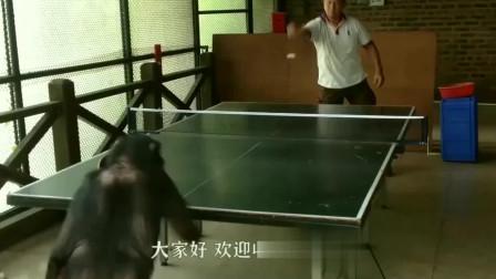 聪明的黑猩猩,和人类一样,看着逗笑了