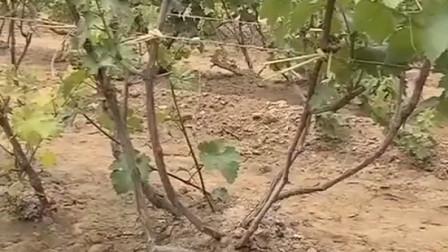 种植无核白鸡心葡萄 要根据土壤肥力 选择不同的树形栽培