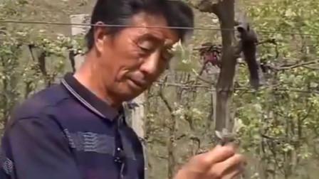 葡萄生长过程中 应当进行抹芽和疏果的操作 专家现场示范