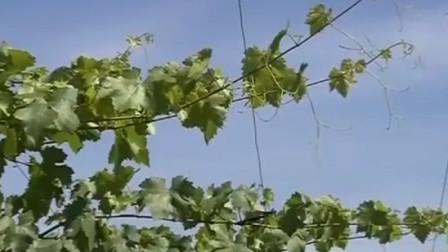 如何提高葡萄产量品质?卷须需要掐除 果实套袋好处多多