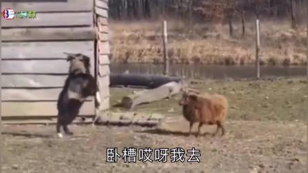 搞笑配音:二哈柯基德牧串串狗