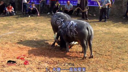 大塘松学斗牛(20201121)