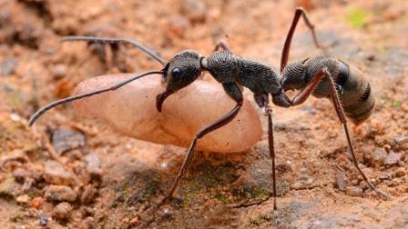 Top5危险系数最高的蚂蚁,看见它们请离远点!