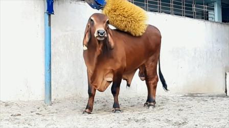 牛专用的全自动挠痒痒机器