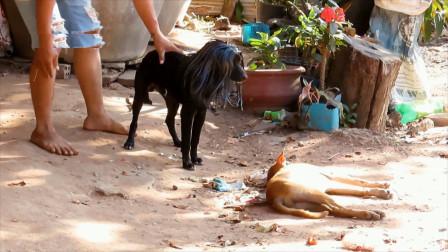 黑狗头顶上多出来的头发自己的狗兄弟还认得出来吗