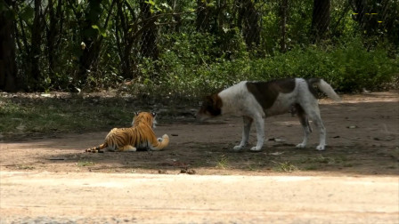 流浪狗正在睡觉,在狗狗身边放一只假老虎