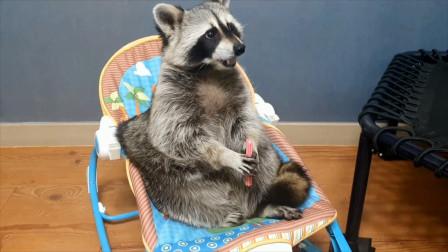 浣熊宝宝坐婴儿椅上吃着我拿给它的小零食