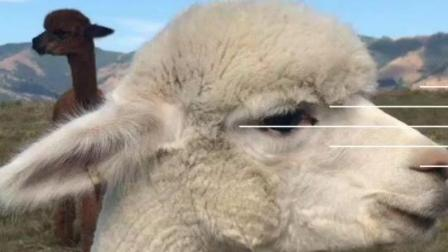 可爱的羊驼