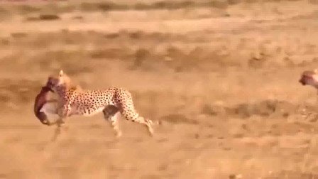 猎豹捕食,前有狮子后有鬣狗,十分艰难