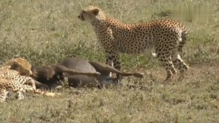 鬣狗远远的望着猎豹捕食,口水直流,