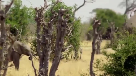角马虽说吃素,可面对鬣狗来捕食,也不会轻易放弃活着的念头