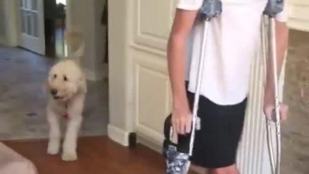主人脚崴了,狗子居然模仿他走路,你可真是个戏精
