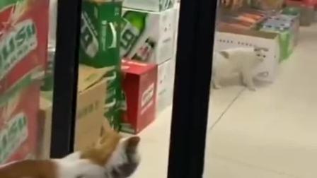 默契担当的猫咪,一个把风一个偷