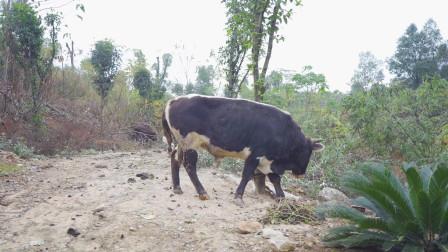 农村兄弟第一天杀牛,牛肉卖50一斤这么抢手,感觉比打工强多了