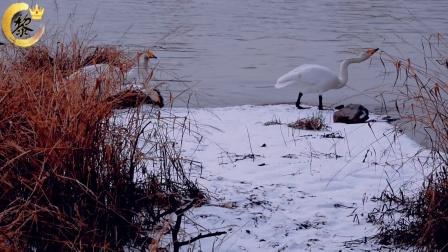 兰州达川三江口一群白天鹅被刷爆朋友圈