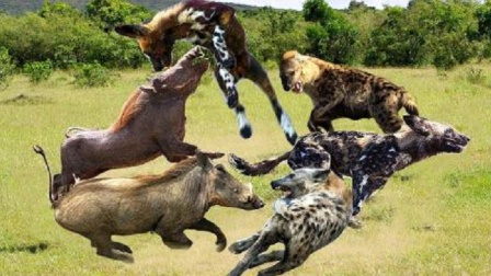 动物世界-野猪妈妈牺牲自己,成全宝宝能安全逃跑