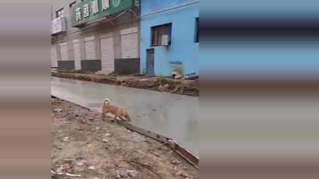 修路工人才铺好的水泥路面就被这只狗狗无情的破坏了,这个调皮的毛小孩玩的还挺开心样子