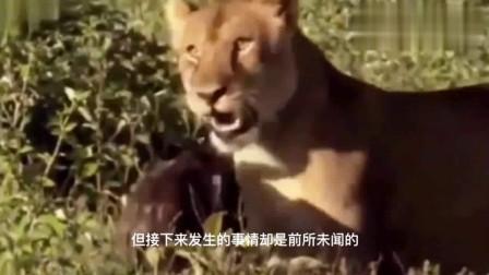 狮子从鬣狗的魔爪中救下小角马,跨物种的母爱