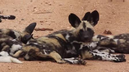 野狗群与鬣狗的战争,数量决定了胜负,鬣狗屡次吃瘪