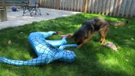 蜘蛛侠:蓝蜘蛛侠装死,测试黑背的反应!