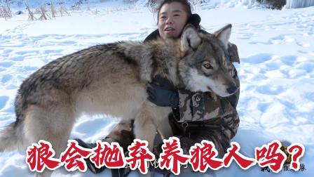 """突发情况狼会抛弃养狼人吗?大姐雪地""""晕倒"""",狼野外护主太贴心"""