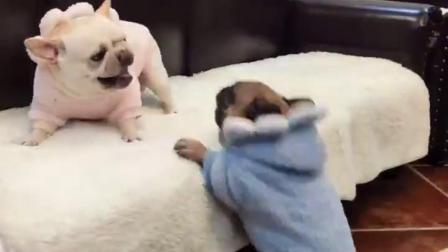 这就是养法斗犬的好处,无论它们怎么打架,都不会伤到沙发