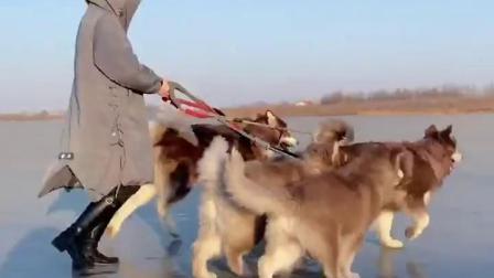 这就是冬天养阿拉斯加犬的好处,你们羡慕了吗?