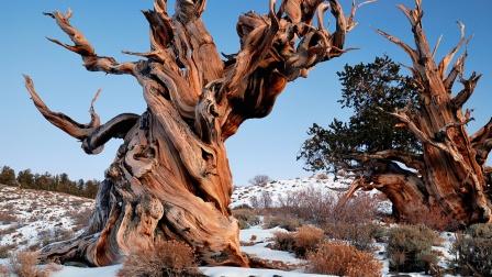 2020现存世界上年龄最大的树Top5!