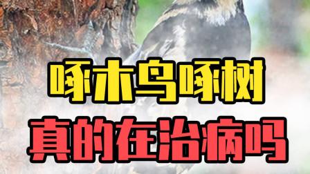 啄木鸟啄树真的是在治病吗?你们都被骗了,它们根本不是好鸟!