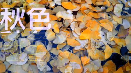 《银杏秋色》