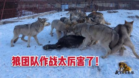 狼群团队作战有多厉害?扑上去开撕整头牛,狼王带领狼群冲锋在前