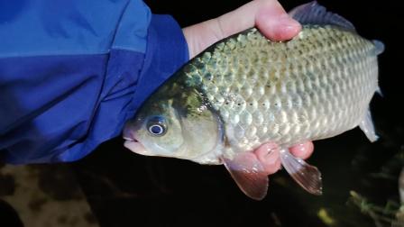 冬季低温夜钓深水大板鲫,鱼大了吃口就是凶