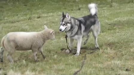 主人让哈士奇牧羊,结果被一只小羊狠揍,镜头记录搞笑画面