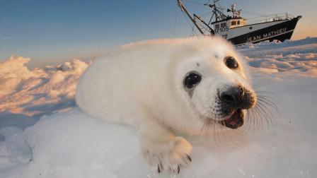 令人发指,十年捕杀260万只海豹,加拿大为什么要大量捕杀海豹