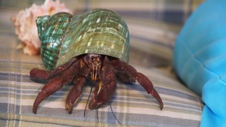 老奶奶把螃蟹当成狗狗养了42年,竟还学会了看家,网友:成精了