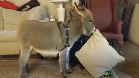 小毛驴从小跟狗狗一起长大,结果被成功带偏,镜头记录搞笑一幕!