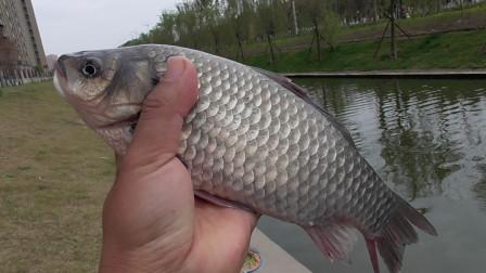 到了真正钓深水的季节了,虽然诱鱼慢,但钓深水能上大板鲫