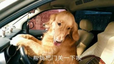 两只金毛开车去兜风,大宝却放弃了,知道原因后主人笑死了