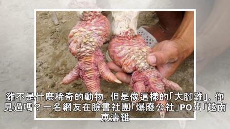 越南罕見大腳雞 雞爪一對可賣好幾萬