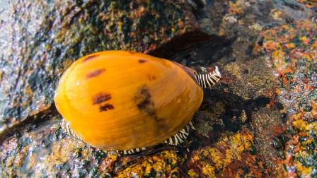 """阿文赶海,退潮发现搁浅的剧毒海鱼,还有比拳头还大的""""海蜗牛"""""""