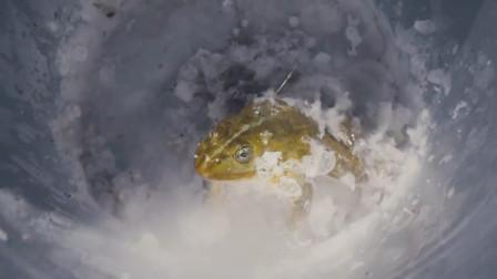 老外把癞蛤蟆放进-196℃液氮里,你猜它还能苏醒吗?