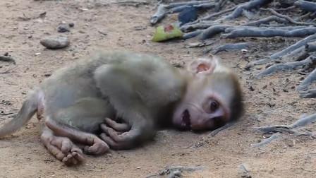 小猴子倒在地上,不断的哀嚎,它到底经历了什么?
