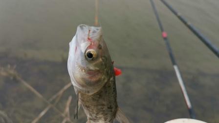 探钓新钓点,目标鱼吃口凶连吞双钩