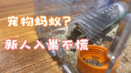 网购全异巨首蚁宠物入巢,蚂蚁防逃液也没有事,蚂蚁很谨慎