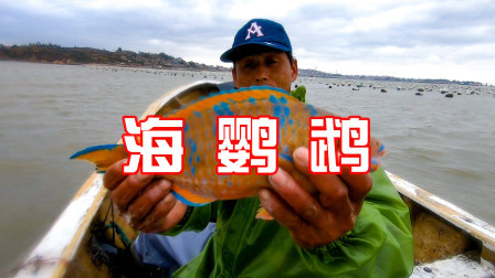 """海蛎区窜进""""海鹦鹉"""",比黄瓜鱼还稀奇,一身金皮遍布蓝纹太少见"""