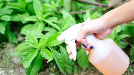 辣椒自制有机杀虫剂,没想到效果这么厉害,让害虫远离家里绿植